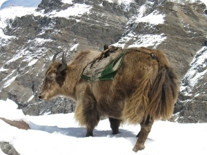 pelote de laine de yack